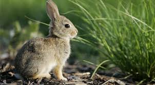 hopping bunny rabbit hopping competitions jump in popularity nbc 10 philadelphia