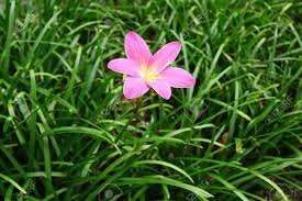 Rain Lily Pink Rain Lily Zephyranthes Stock Photo Picture And Royalty
