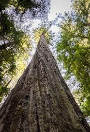 looking for the world s tallest tree humboldt county california