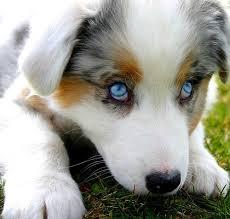 australian shepherd puppies best 20 australian shepherd breeders ideas on pinterest mini