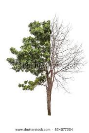 tree burned half other half stock photo 524077204