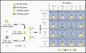 Dihybrid Crosses Worksheet Difference Between Monohybrid And Dihybrid Major Differences