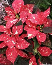 Pointsettia 6 Tips To Keep Your Poinsettias Looking Good This Holiday Season