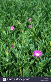 native australian ground cover plants pigface carpobrotus virescens a succulent coastal plant native to