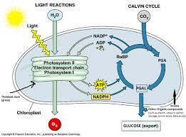 Photosynthesis And Cellular Respiration Worksheet Cellular Respiration And Photosynthesis