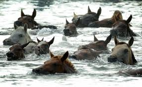 Maryland wild swimming images America 39 s famous swimming ponies make their annual trek across jpg