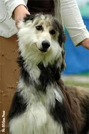 afghan hound 9 months carte blanche gille estel joker 9 months owner vlasava n