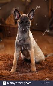 belgian shepherd 2 months belgian malinois stock photos u0026 belgian malinois stock images alamy