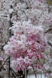 Flowering Cherry Shrub - the 25 best flowering cherry tree ideas on pinterest cherry