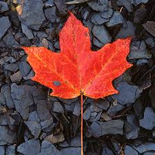red maple leaf on black shale photograph by john harmon