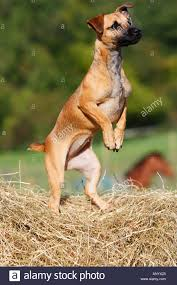 bichon frise jack russell cross temperament small jack russell cross dog stock photos u0026 small jack russell