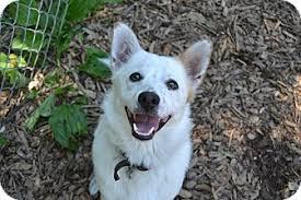 american eskimo dog growling teddy adopted dog broadway nj american eskimo dog terrier