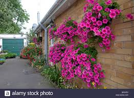 colourful display of petunias in baskets on wall of small bungalow