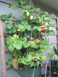 Diy Strawberry Planter by Weekend Project Hanging Strawberry Planter Garden Therapy