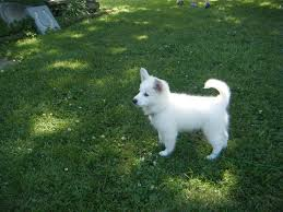 american eskimo dog maintenance does anyone on here have american eskimos