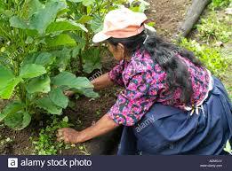 organic vegetable garden in mindo picking weed around vegetables