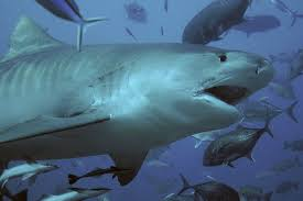 sharks literally puke their guts out u2014 here u0027s why the verge
