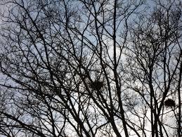 free stock photos of english oak trees u0026 rooks nests 5 images