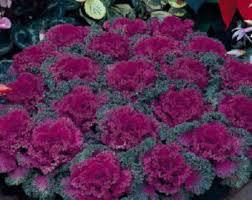 flowering kale etsy