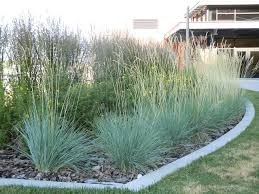 blue oat grass care tips for growing ornamental blue oat grass