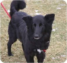 belgian shepherd dog rescue black beauty adopted dog 0862 blooming prairie mn