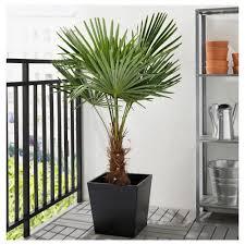 Yucca Wohnzimmer Trachycarpus Fortunei Pflanze Ikea