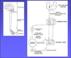 Urinary Bladder Anatomy And Physiology Bladder 03 Png