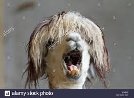 lama pacos alpaca with funny hairstyle in a zoo andes south