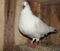 How To Get Rid Of Pigeons On My Roof by Pigeon Farming Modern Farming Methods