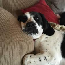 australian shepherd beagle mix springer spaniel pitbull mix bull beagle black photo happy dog