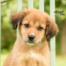 australian shepherd yellow baxter male australian shepherd puppy adoptable pets in ohio