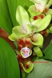 17 best curcuma images on pinterest flower gardening flowers