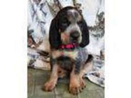 bluetick coonhound kennels in ga view ad bluetick coonhound puppy for sale washington spokane usa