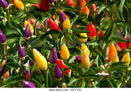 ornamental pepper plant stock photos ornamental pepper plant