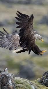 best 25 eagle ideas on pinterest eagles bald eagle and bald