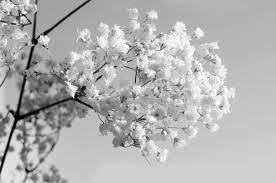 black and white flowers free stock photo public domain pictures