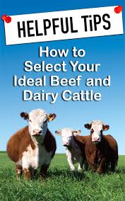 Backyard Cattle Raising A Guide To Dairy And Beef Cattle Breeds Countryside