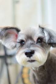 Dog Grooming Styles Haircuts 346 Best Dog Grooming Images On Pinterest Dog Grooming Pet