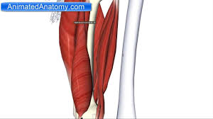 Knee Compartments Anatomy Muscles Of The Thigh Part 2 Posterior Compartment Hamstring