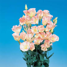 Lisianthus Lisianthus Horticultural Products U0026 Services Hps Seed