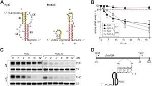 recognition of the small regulatory rna rydc by the bacterial hfq