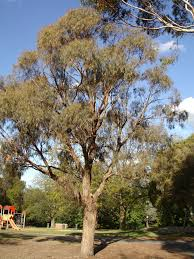eucalyptus nicholii wikipedia