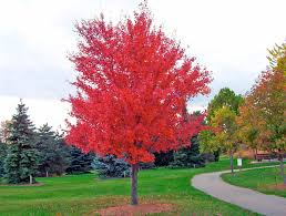 gorgeous red maple tree i want to plant a red maple in the front