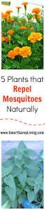 best 25 lemongrass mosquito ideas on pinterest anti mosquito