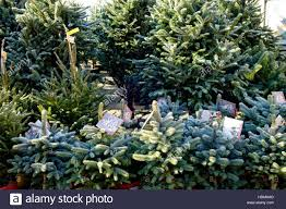 blue spruce spruce trees for sale at