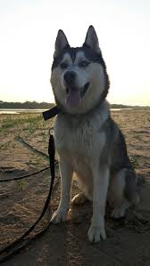 Husky 2 Ton Jack by 1509 Best Snowy Husky Images On Pinterest Siberian Huskies