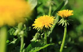 Weed Or Flower Pictures - weed or flower gardeners can u0027t recognise common weeds