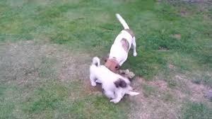 pomeranian x bichon frise sale jack russell bichon cross puppies youtube