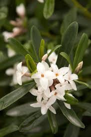 Fragrant Garden Plants Eternal Fragrance Daphne Monrovia Eternal Fragrance Daphne