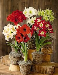 amaryllis plant hippeastrums and lilies